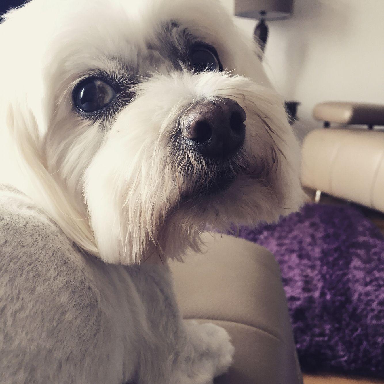 Lola the maltese maltese dogs softies