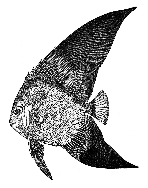 The Graphics Fairy Llc Vintage Clip Art Fish Engravings Clip Art Vintage Fish Illustration Fish Graphic