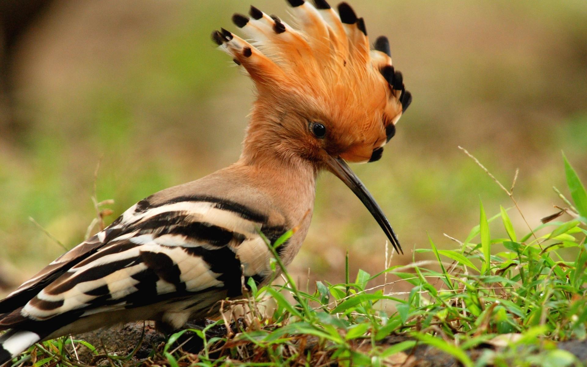 Animals Birds Macro Hoopoe Wallpaper Animals images