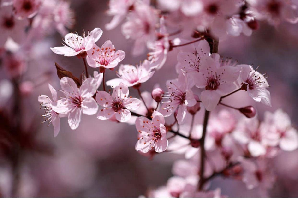 Pin By Anastasiya Lebedeva On Japanese Cherry Blossom Flowers Photography Sakura Flower Beautiful Flowers