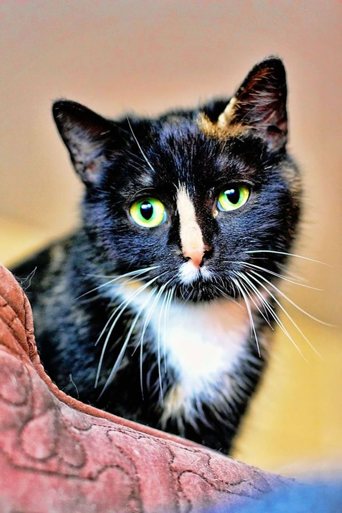 Asia the cat is looking for a new home in the Toronto area