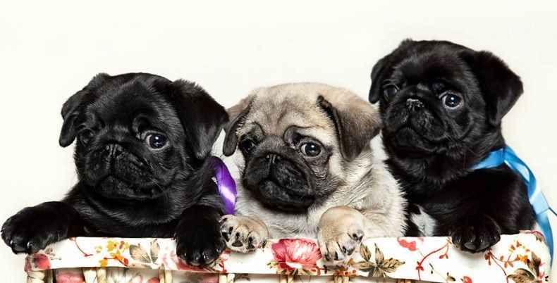 Cute Fawn & Black Pug Puppies