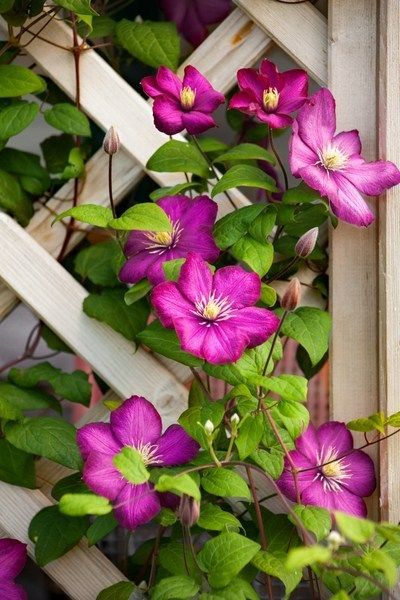 Growing Climbing Clematis - The Perennial With Big Flower Power!#big #clematis #climbing #flower #growing #perennial #power