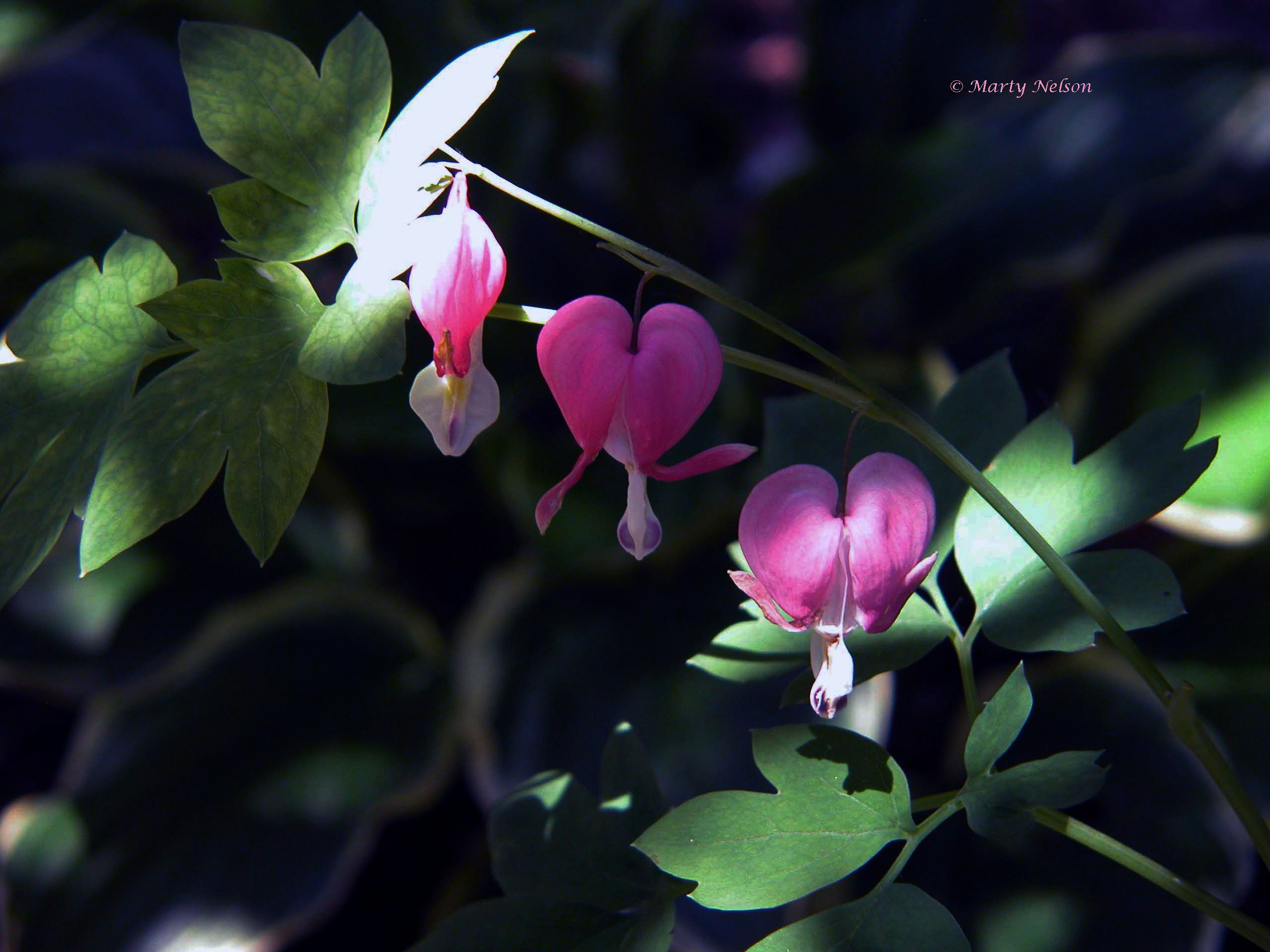 Bleeding heart plant copyright by marty nelson website