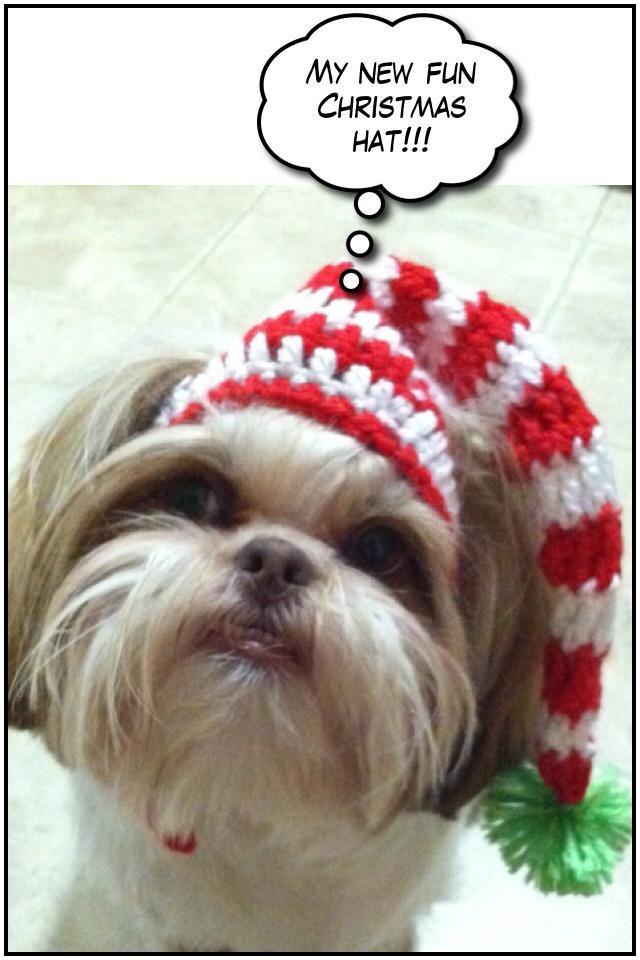 Maddie Shih Tzu Wearing Her New Christmas Hat Shih Tzu