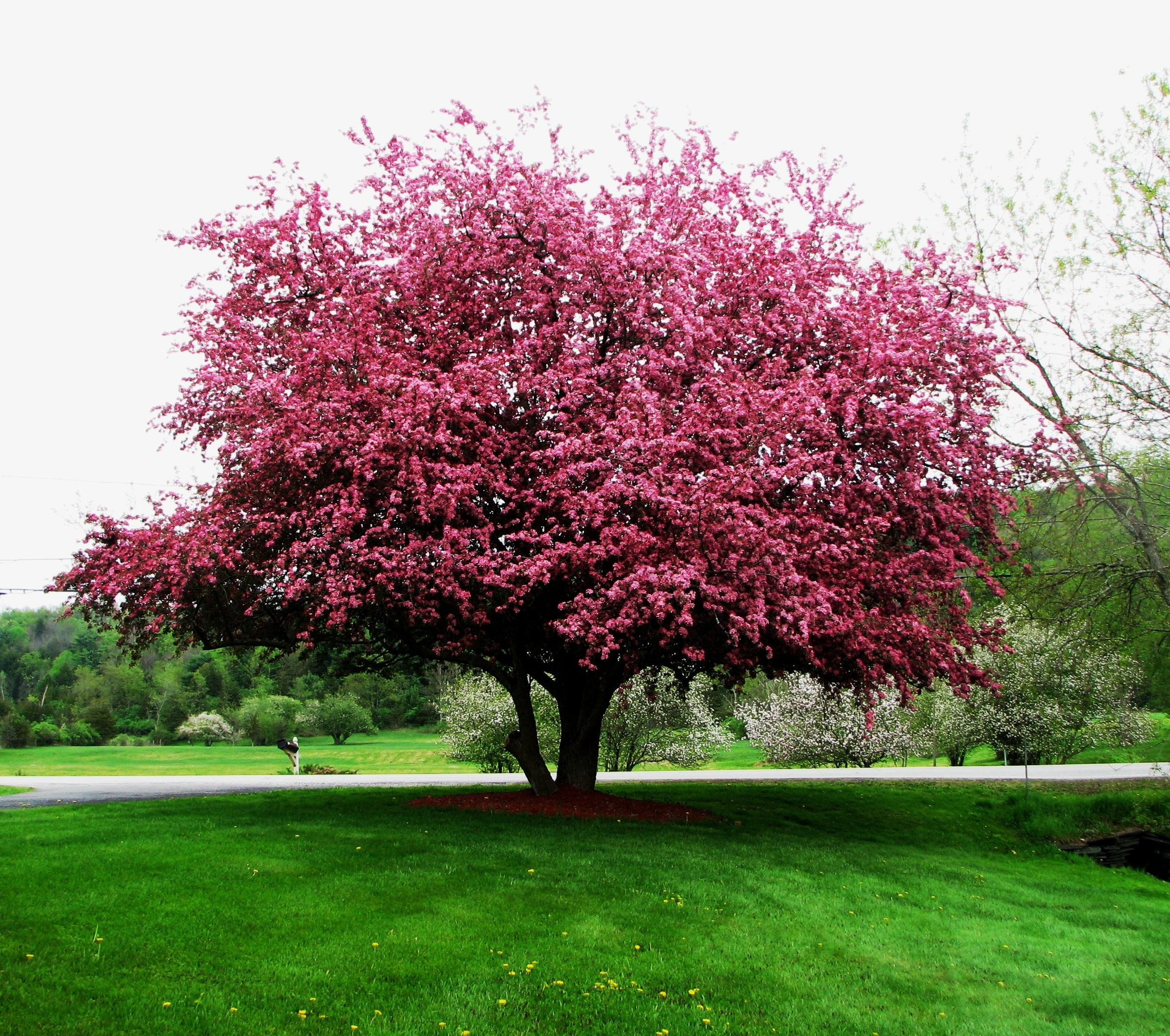 Crab Apple Tree In The Front Yard
