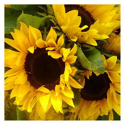 "Trademark Fine Art ""Sunflowers"" Photographic Print on Canvas by Amy Vangsgard"