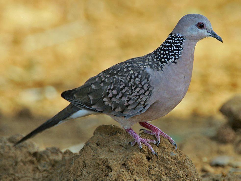 Pin By Shahana Mushtaq On Birds Pigeon Dove Pigeon Types