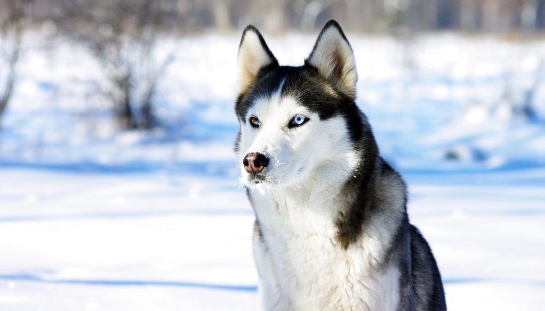 Best Dog Food For Huskies 2020 Review Treehousepuppies Husky
