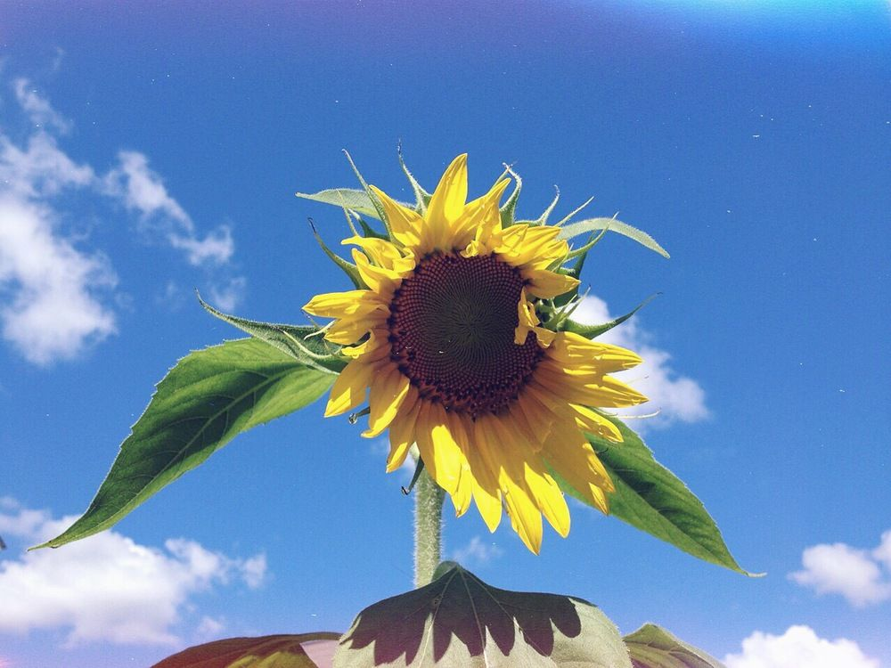 Summer Skies And Sunflower Inflorescence Click The Pic To Learn About Sunflower Flower Essence Flower Essences Sunflower Flower Summer Sky