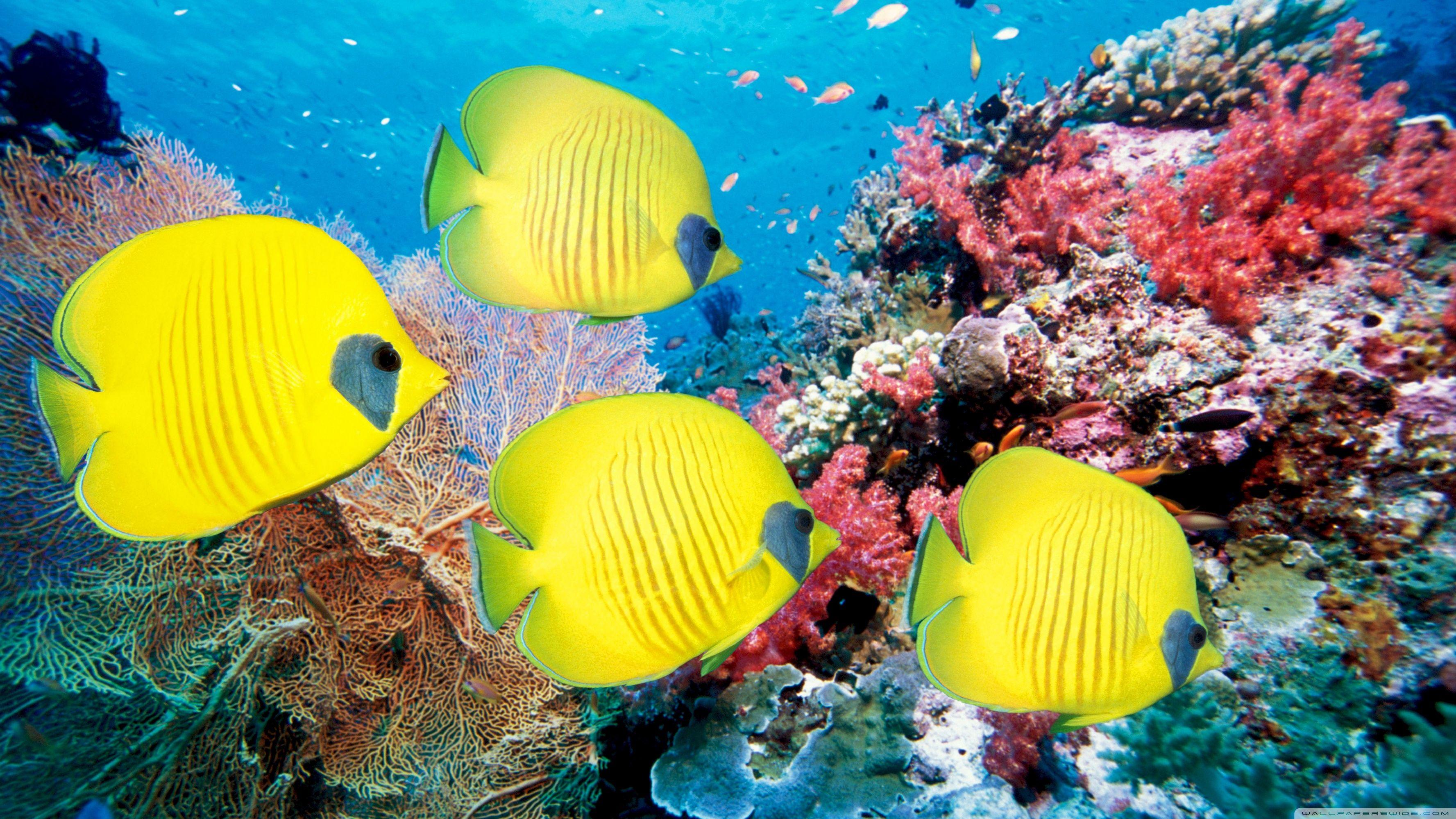 Yellow Butterfly Fish HD Desktop Wallpaper Widescreen High Underwater Ocean