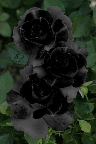 Black Roses Dark Flowers Black Garden Beautiful Flowers