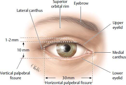Upper Eyelid Anatomy And Measurements Upper Eyelid Anatomy Eye Anatomy