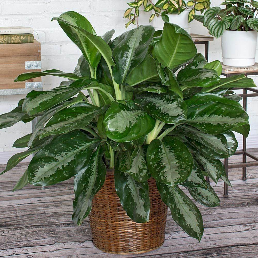 Chinese Evergreen - Ask an Expert |Wholesale Silk Plants Chinese Evergreen House