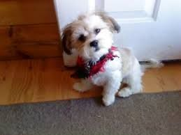 Image Result For Malshi Puppy Haircuts