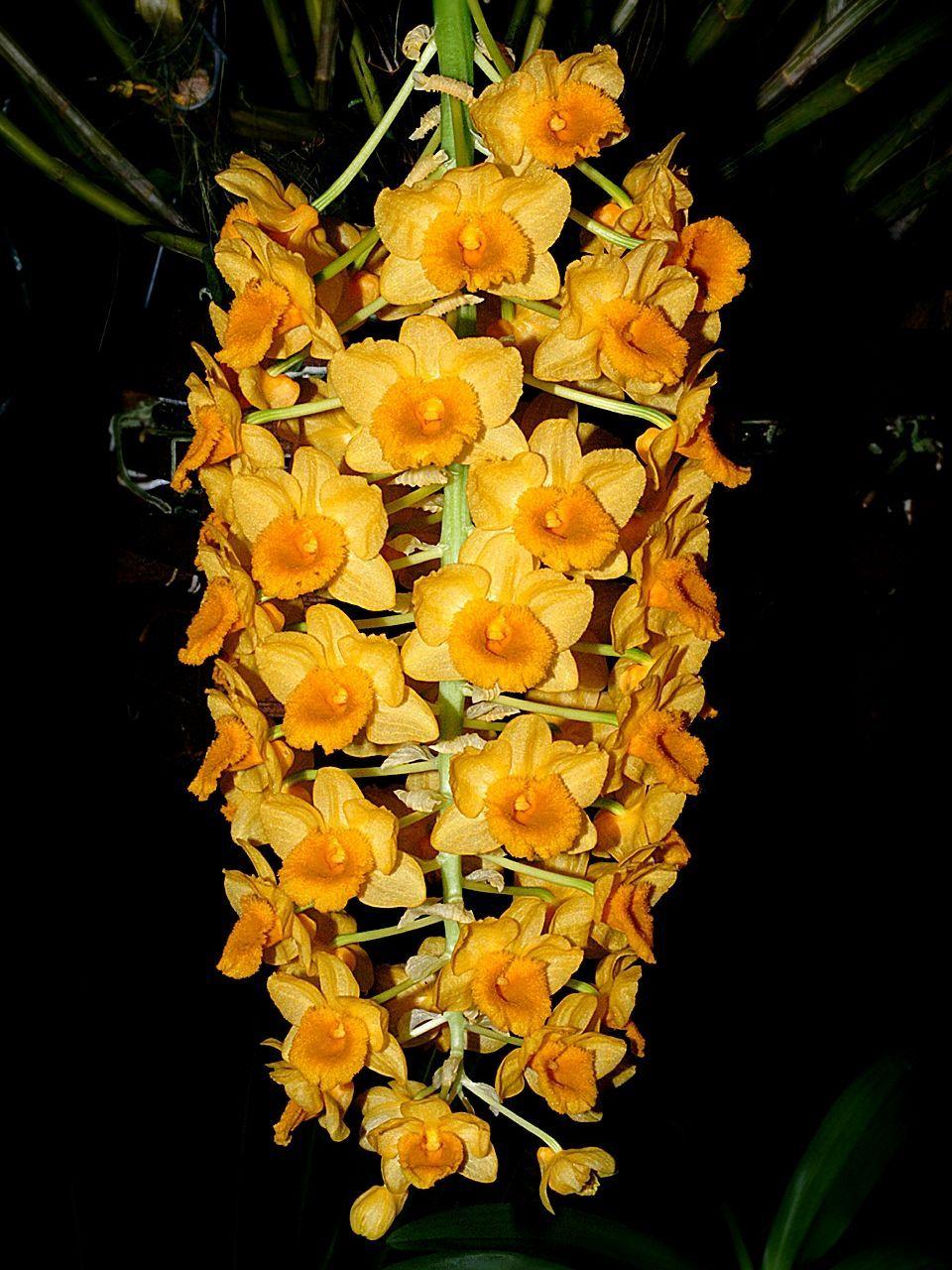 Dendrobium Densiflorum Wikipedia Dendrobium Orchids Beautiful Orchids Orchids Garden