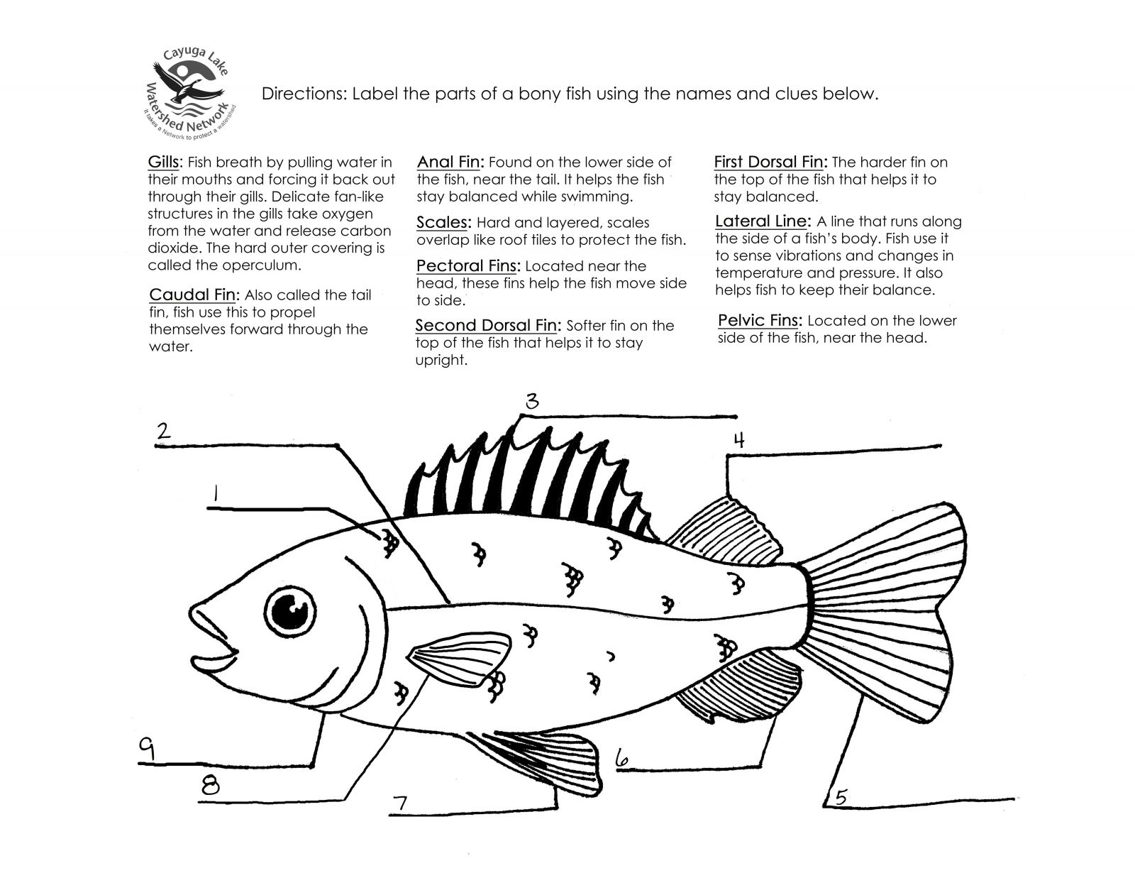 Worksheets Fish Anatomy Worksheet bony fish anatomy worksheet choice image human learning images coloring pages and activities cayuga lake watershed network