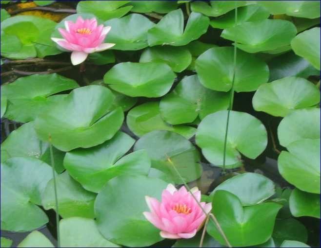 Le piante acquatiche sono quelle che crescono vigorose for Piante da stagno