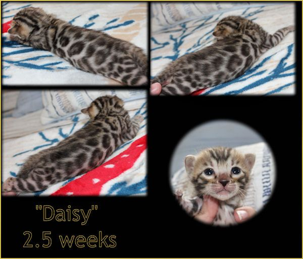 Bengal Cat Breeder & Kittens For Sale in Florida