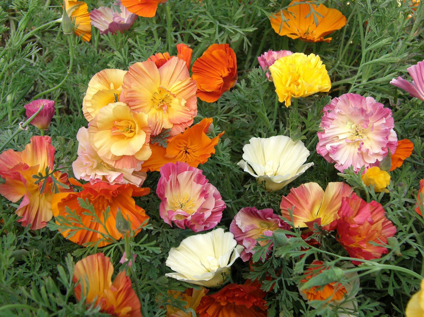 California Poppies \