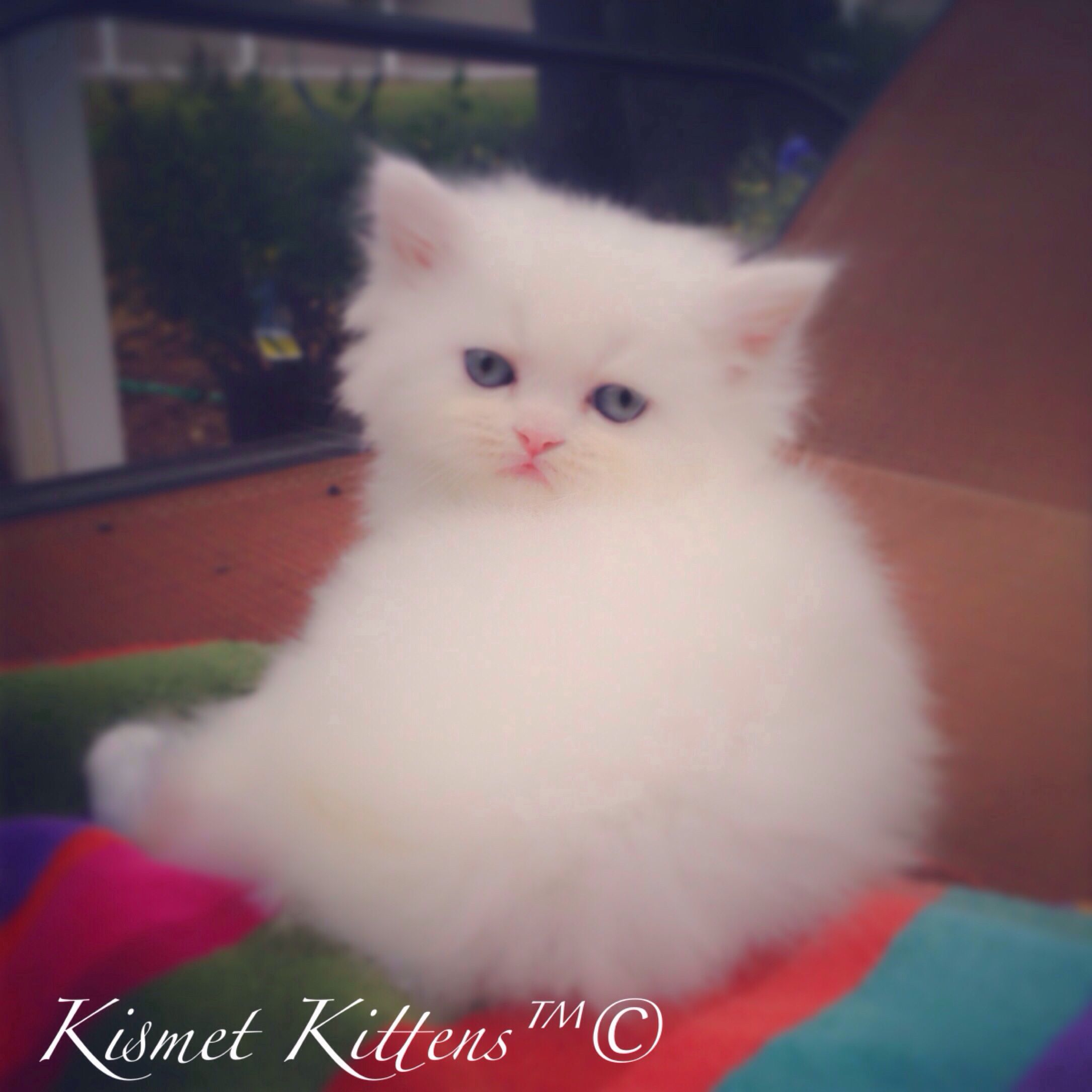 For Sale White Doll Face Kitten With Blue Eyes Male Ready To Go Mid January To Reserve 813 409 841 Persian Cat Doll Face Teacup Persian Kittens Persian Cat