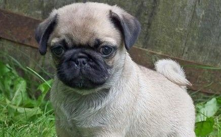 Hi I'm Candy, the Pug puppy! I live in San Diego, California, United States and I love to sleep!I could sleep all day if I could. When I'm not sleeping, I love chasing my tail, running around the house, running around the house with a shoe in my mouth and getting a belly rub!I'm ready for a cuddle!