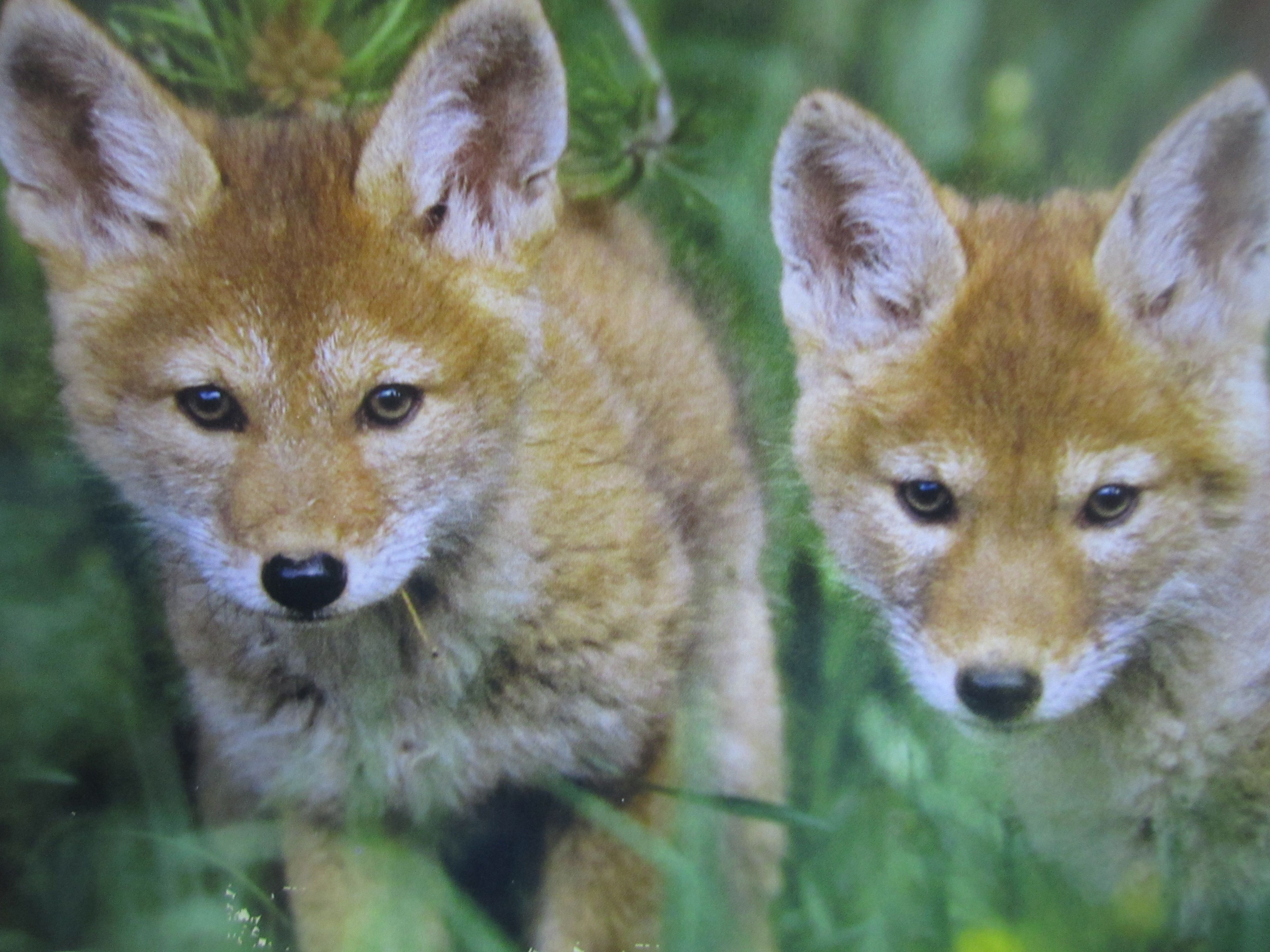 baby coyotes picture - HD4320×3240