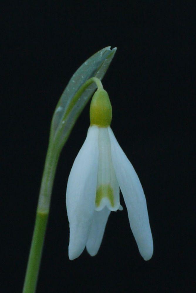 Galanthus Norfolk Blonde A Collectors Snowdrop Bulb Norfolk My Flower