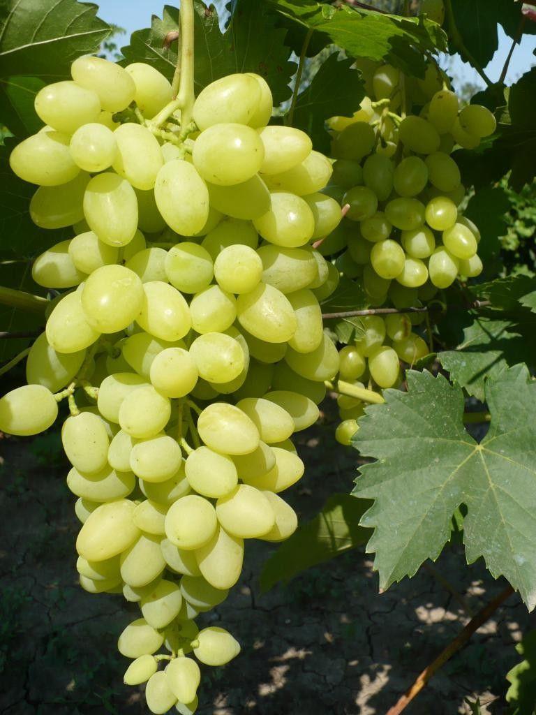 Виноград-видео по выращиванию и уходу 271