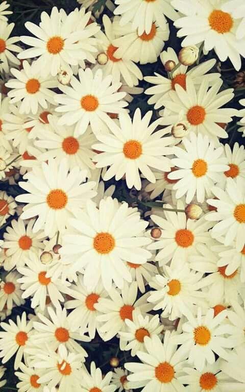 Margaridas Papel De Parede Floral Margaridas Papeis De Parede