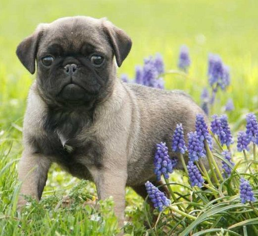 Cute Silver Pug Puppy I Love Pugs Cute Pug Puppies Pugs Pug
