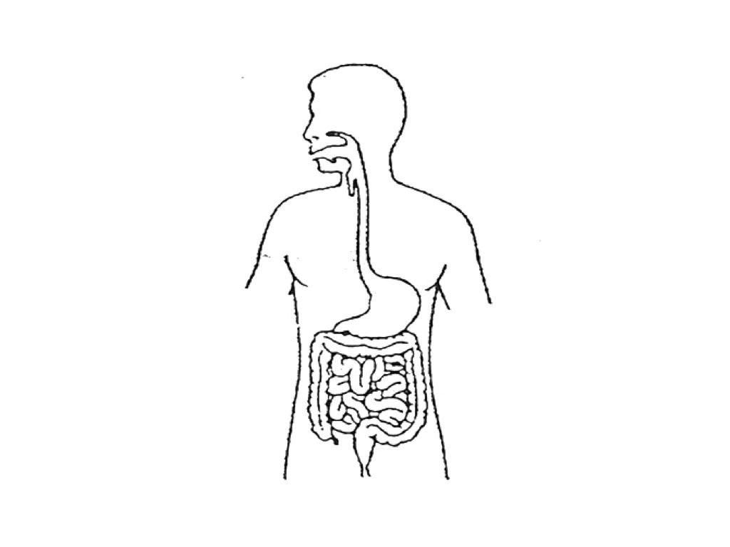 Unlabeled Diagram Of The Digestive System