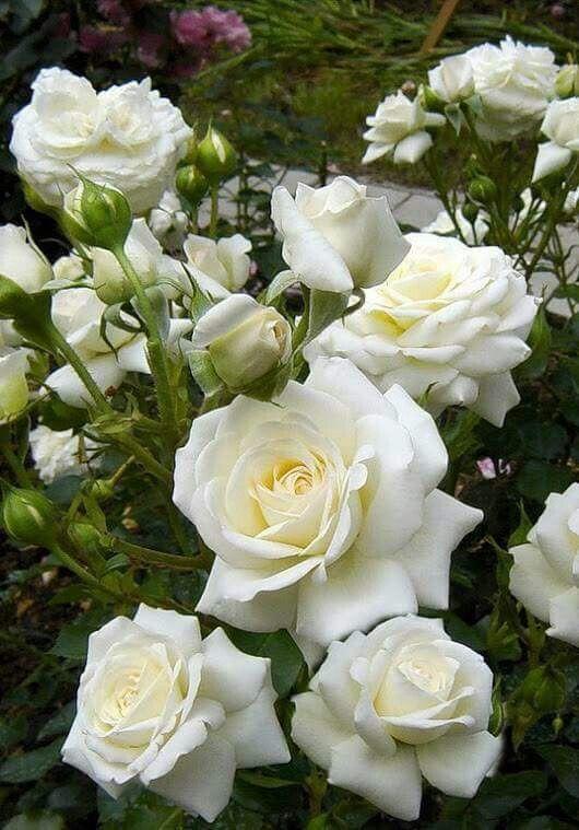 Épinglé par MER YAHI sur ورد   Roses des jardins anglais, Fleurs blanches et Fleur rose