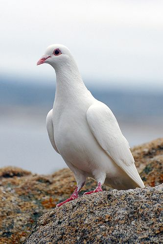 white dove white doves pinterest white pigeon bird and animal