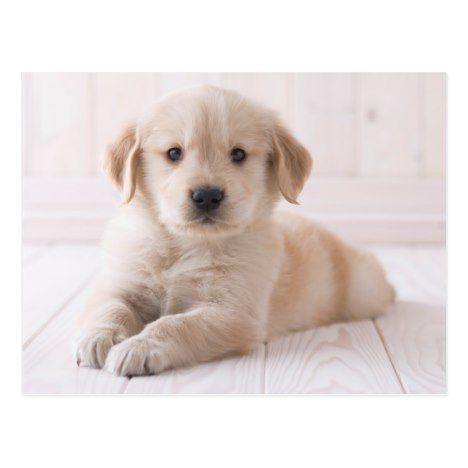 Golden Retriever Lying Down Postcard Cute Cutepets Cuteanimals Officegifts Goldenretriever Golden Retriever Retriever Retriever Puppy
