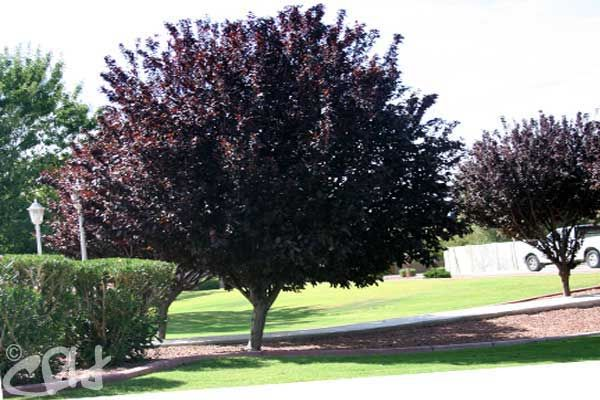 Deciduous Trees With Images Purple Plum Tree Deciduous Trees
