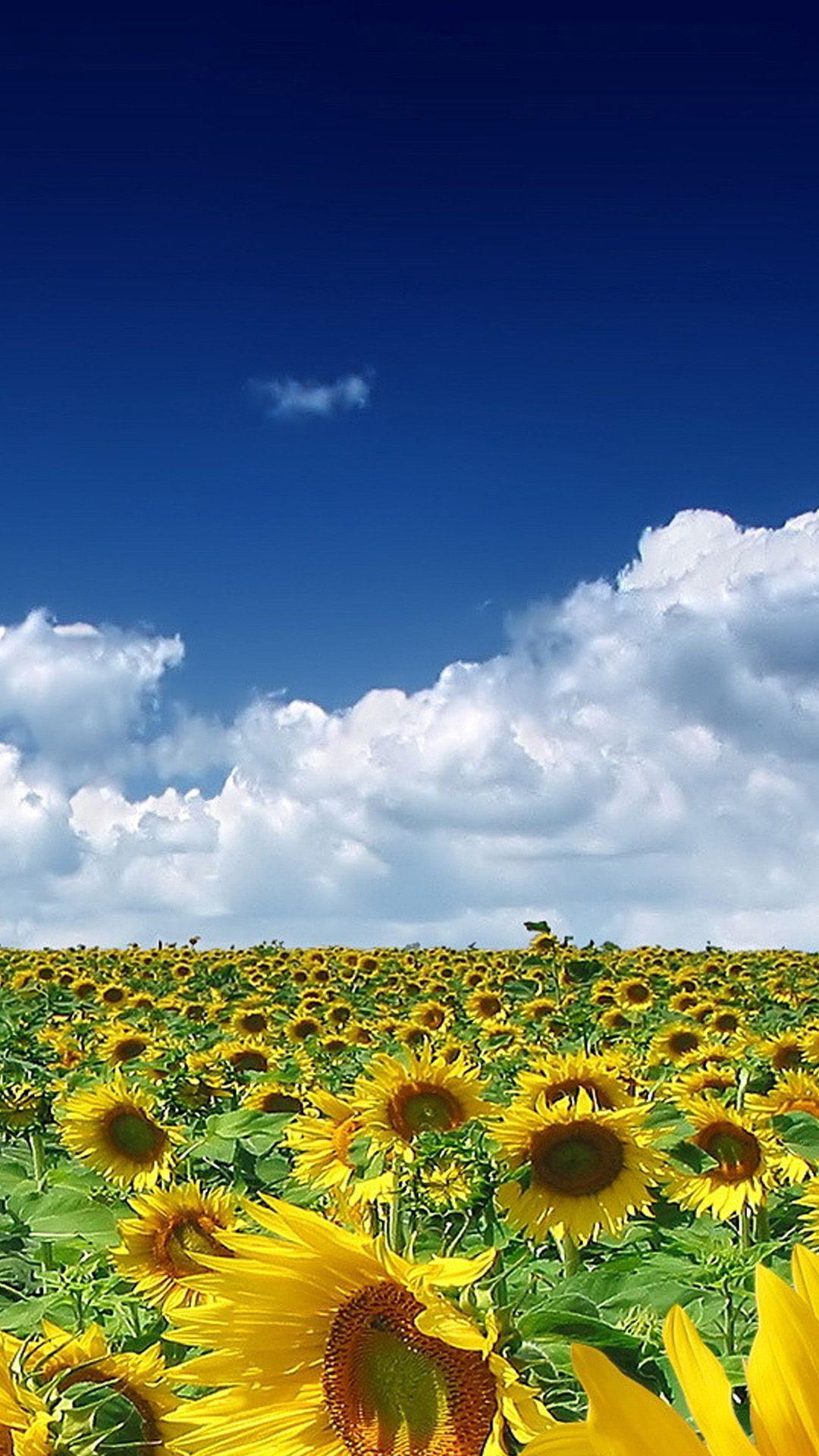 キレイなひまわり畑 ひまわり ひまわり畑 ひまわり 壁紙
