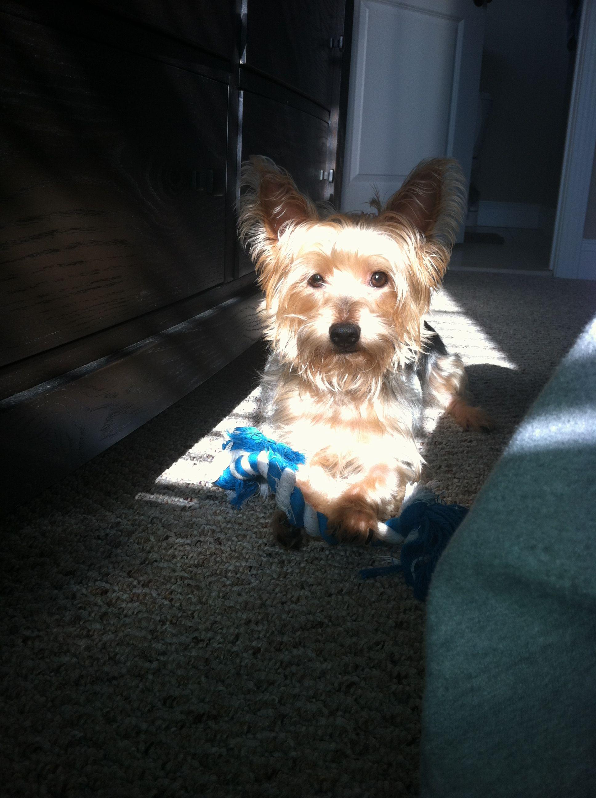 Yorkie sun tan Yorkie, Dogs, Animals