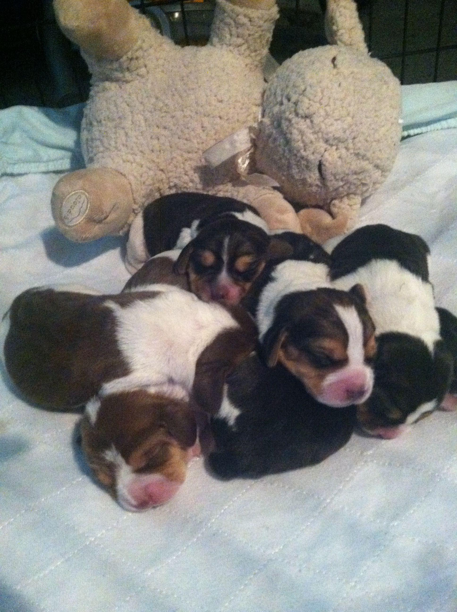 Newborn Beagle Puppies So Cute Beagle Puppy Beagle Buddies