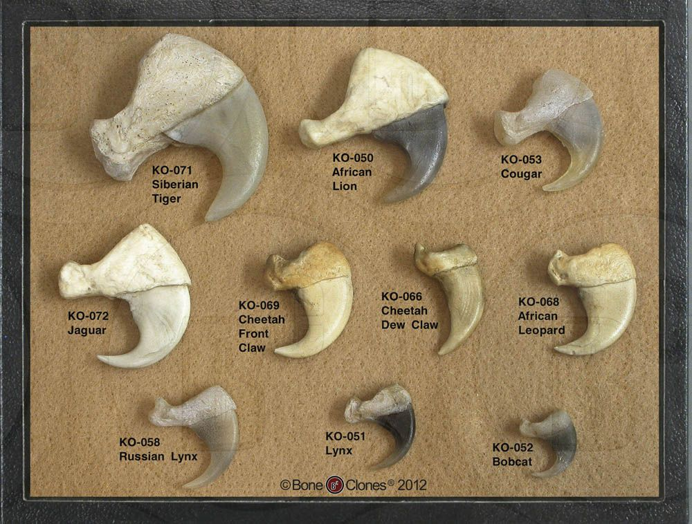 A comparison of various feline claws all simulated by