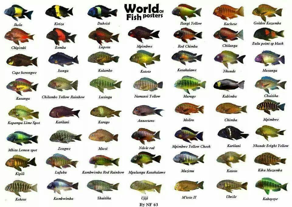 African Cichlid Chart Mbuna Lake Malawi | Cichlids ... |African Cichlid Chart