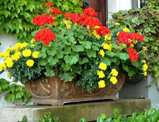 Thriller Bright Red Geraniums Filler Bright Yellow Marigolds And