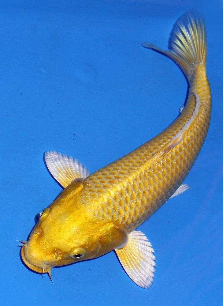 Live koi fish 10 11 yamabuki yellow ogon koibay koi for Japanischer kampffisch