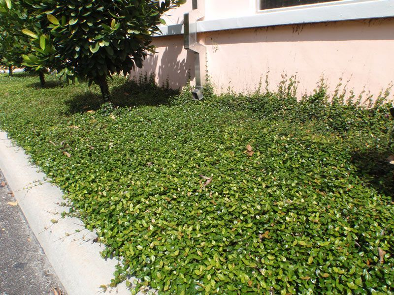 Jasmine Ground Cover Covers Offer A Good Subsute For Gr
