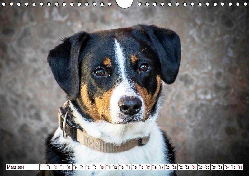 Calvendo Kalender Appenzeller Sennenhunde Sennenhund Ausgestopftes Tier Hunderasse