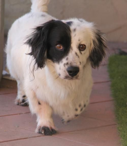 Adopt Speed Bump A White With Black Basset Hound Border Collie Mixed Dog Dogs Dog Adoption Puppies