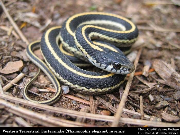 The Garter snake is a Colubrid snake genus (Thamnophis) common across North America, ranging from Alaska and Canada to Central America. Description from greatdesignplant.blogspot.com. I searched for this on bing.com/images