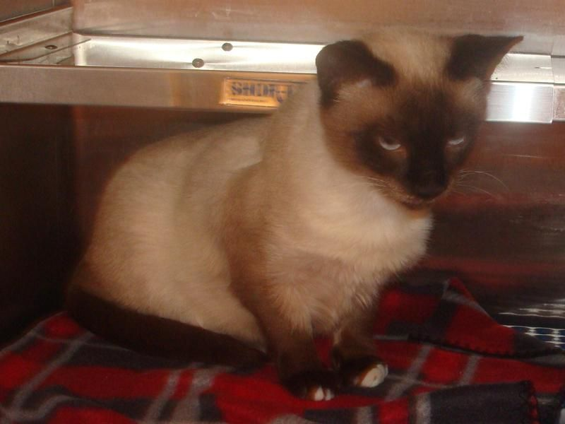Donavin Is A Chocolate Point Siamese Approx 1 1 2 Yrs Old He Is