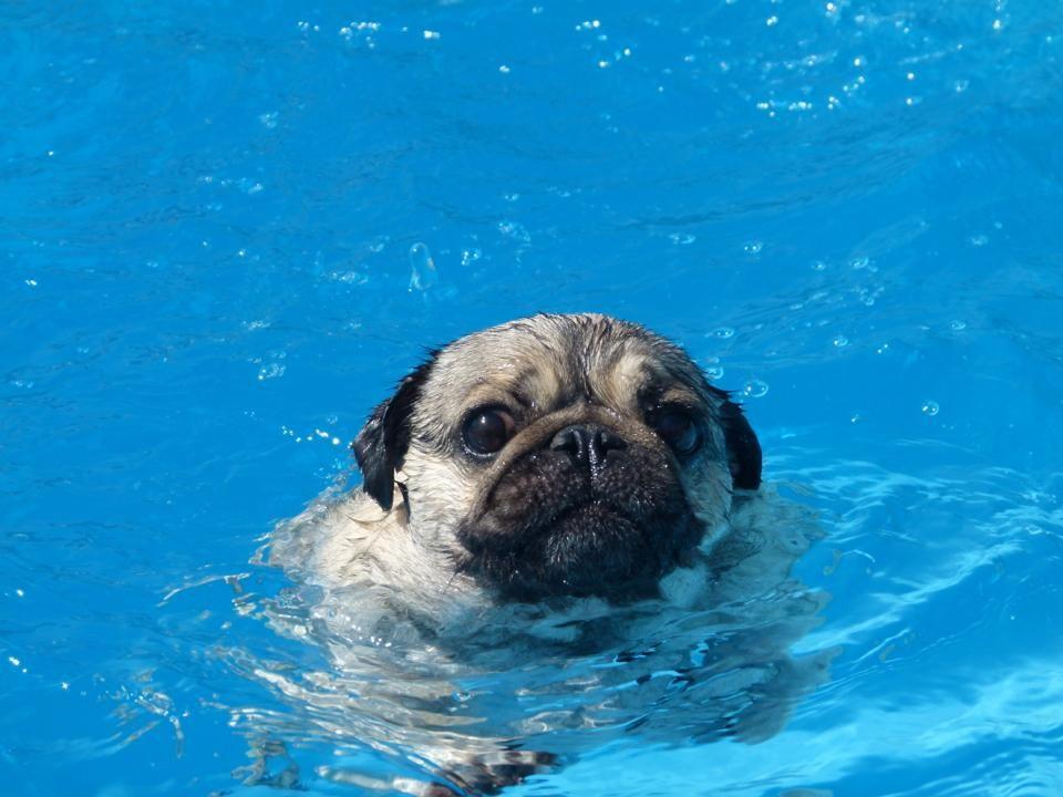Pugs can swim!!!