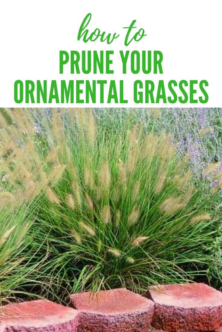 Ornamental grass pruning tip proplanttips plant care pinterest ornamental grass pruning tip proplanttips workwithnaturefo